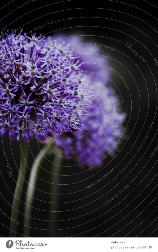spring starlet Nature Plant Spring Flower Blossom ornamental garlic Garden Blossoming Fragrance Esthetic Violet Contrast Spherical Leek Colour photo