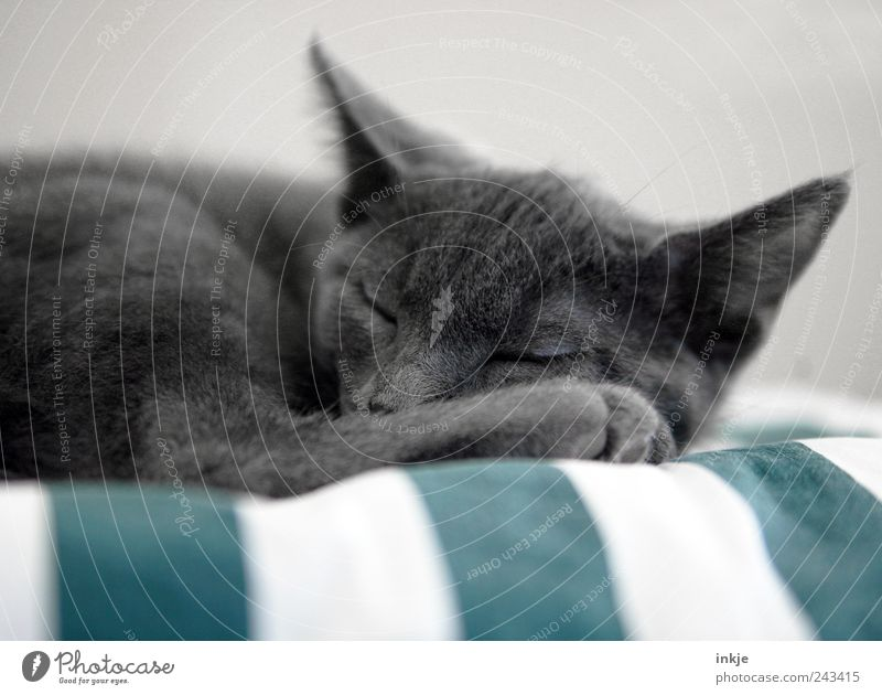 Cat Calm Animal Relaxation Emotions Gray Moody Contentment Baby animal Lie Sleep Break Soft Cute Animal face Warm-heartedness