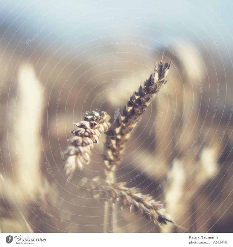 wheat Grain Dough Baked goods Nutrition Environment Nature Climate Climate change Beautiful weather Agricultural crop Field To dry up Growth Blue Yellow Gold