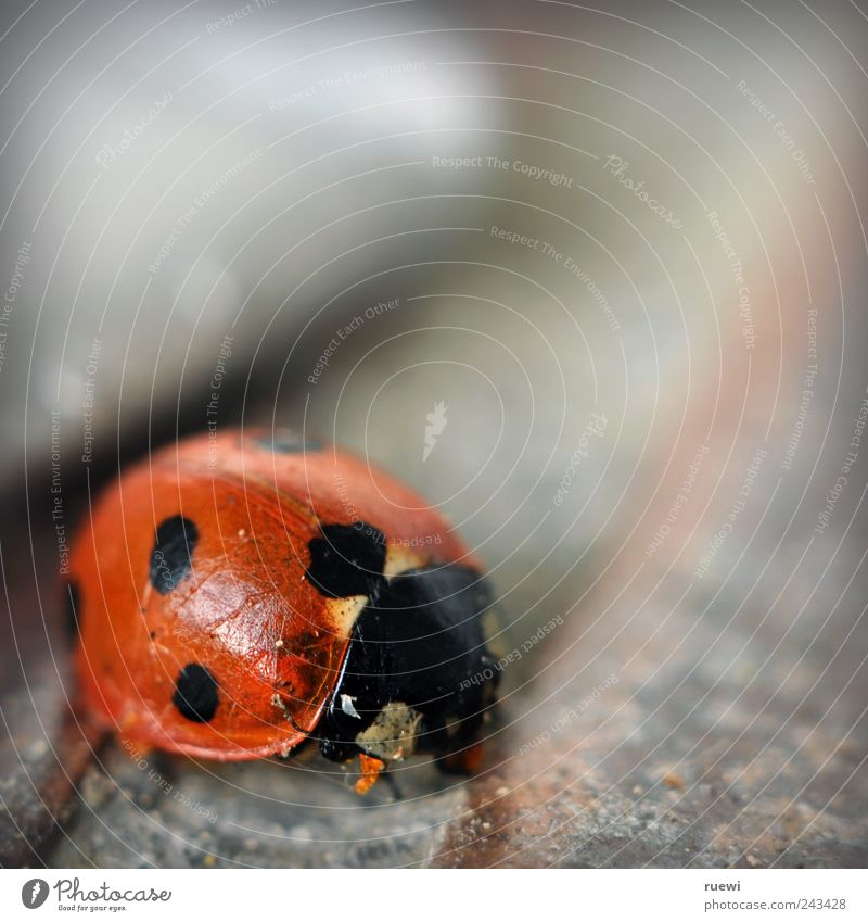Old Beautiful Red Summer Animal Black Environment Small Stone Arrangement Clean Cleaning Point Silver Disgust Ladybird
