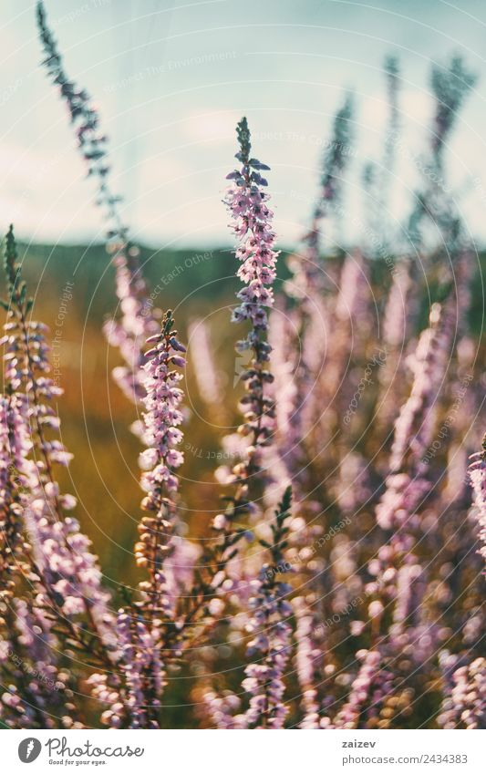pink flowers of calluna vulgaris in a field at sunset Beautiful Summer Nature Plant Spring Autumn Flower Bushes Leaf Blossom Garden Park Meadow Field Fragrance