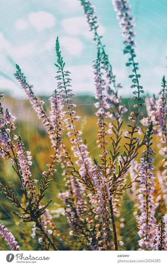 pink flowers of calluna vulgaris in a field at sunset Beautiful Summer Environment Nature Plant Spring Flower Bushes Leaf Blossom Garden Park Meadow Field
