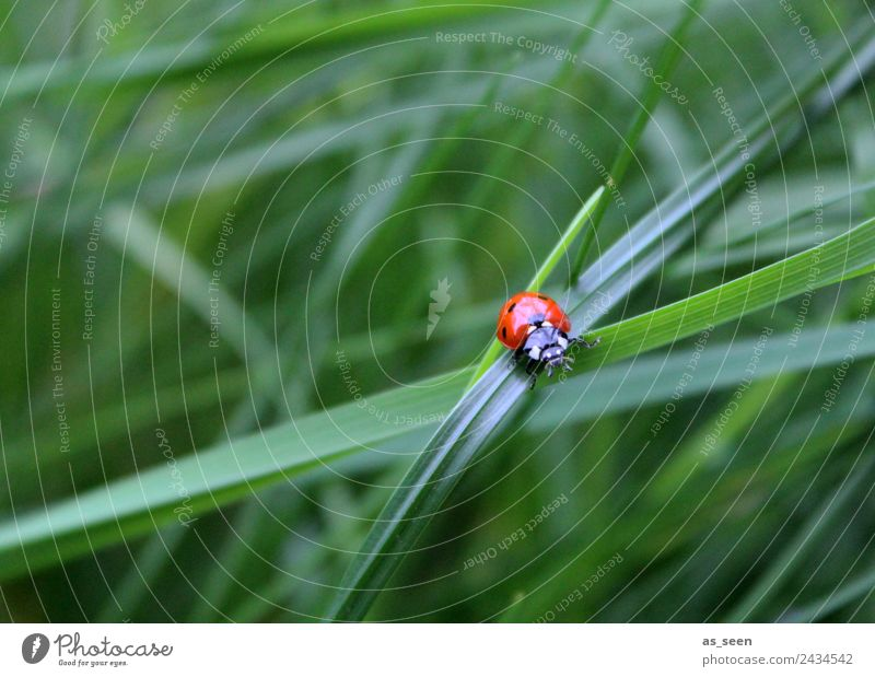 Ladybird on a blade of grass Harmonious Relaxation Calm Trip Camping Summer Garden Environment Nature Plant Animal Grass Beetle 1 Good luck charm Crawl Sit