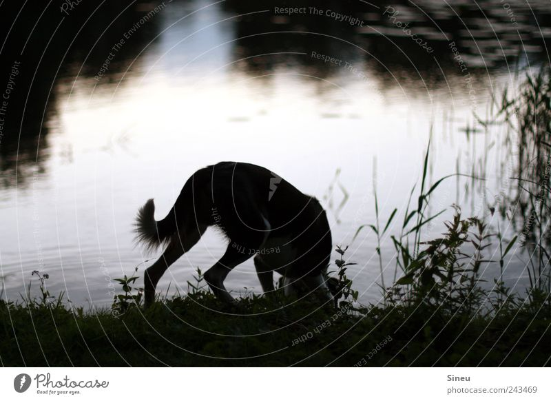 Nature Water Summer Calm Loneliness Animal Grass Dog Lake Landscape Environment Drinking Stand Common Reed Lakeside Beautiful weather
