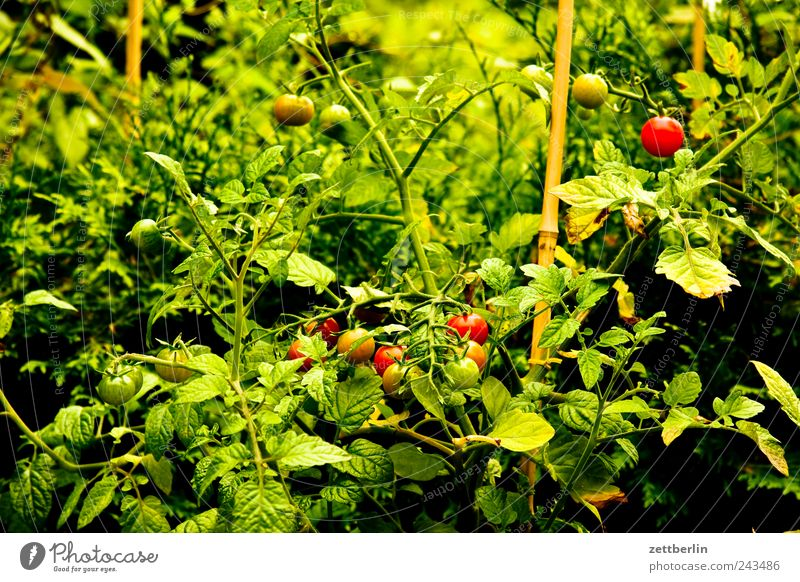tomatoes Food Fruit Nutrition Organic produce Vegetarian diet Slow food Harmonious Well-being Contentment Garden Plant Flower Blossom Growth Emotions Harvest