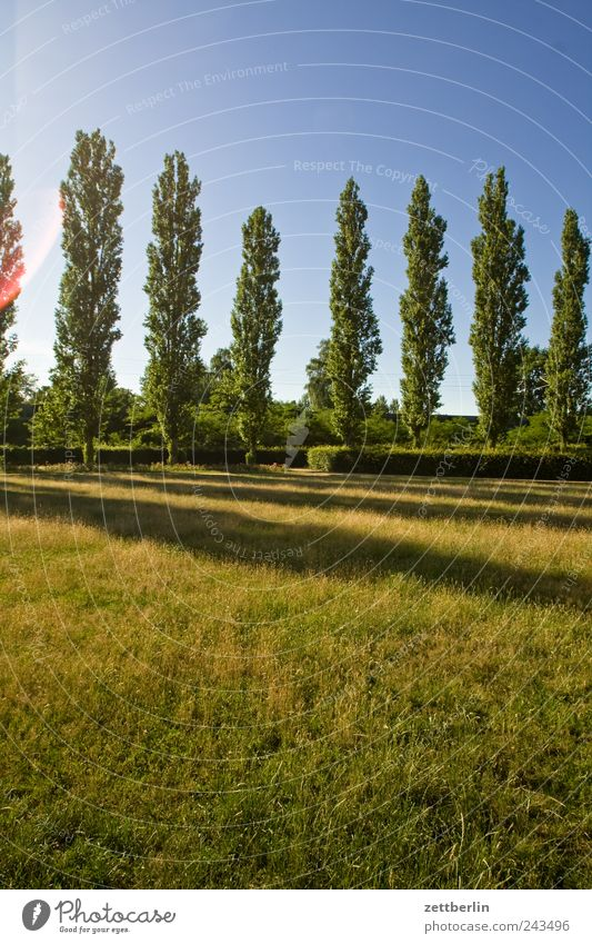poplars Environment Nature Landscape Plant Earth Sky Summer Climate Climate change Weather Beautiful weather Tree Grass Park Meadow Cheap Poplar Avenue