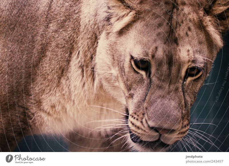 lion Zoo Animal Wild animal Animal face 1 Observe Discover Hunting Wait Threat Exotic Sadness Loneliness Fear Timidity Respect Voracious Elegant Concentrate