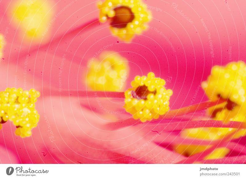 hibiscus Environment Nature Plant Blossom Exotic Blossoming Fragrance Glittering Illuminate Fresh Spring fever Colour Hibiscus Hibicus blossom Nectar Pistil