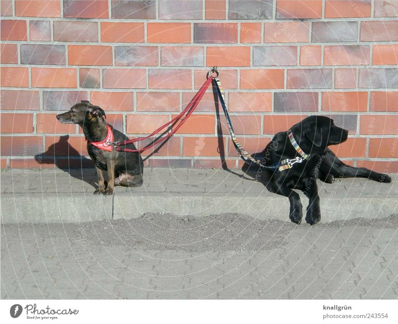 Insulted! Wall (barrier) Wall (building) Animal Pet Dog 2 Dog lead Neckerchief Dog collar Lie Sit Wait Brown Gray Black Emotions Moody Relationship Contact