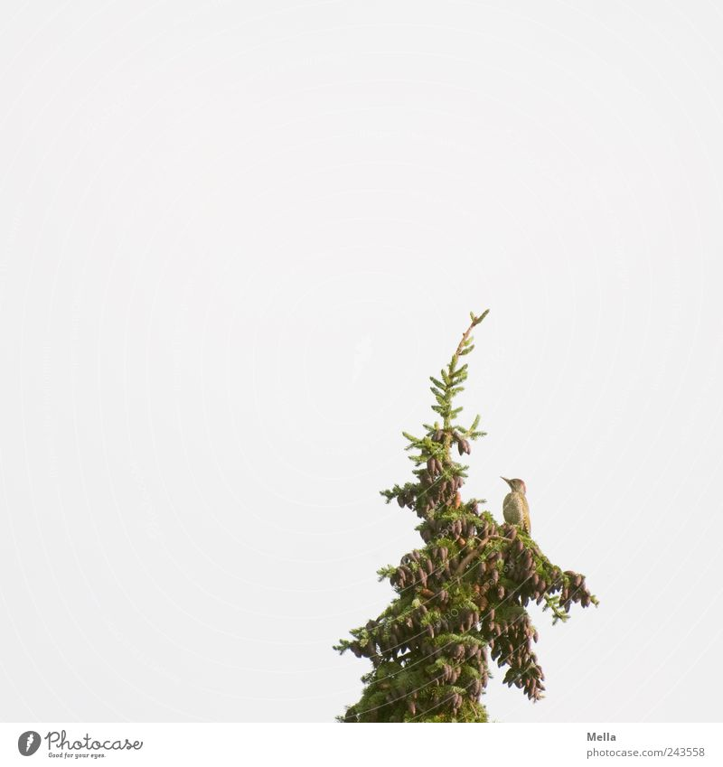 Green in Green Environment Nature Sky Plant Tree Fir tree Fir branch Treetop Animal Bird Green woodpecker 1 Looking Sit Free Bright Natural Freedom Individual