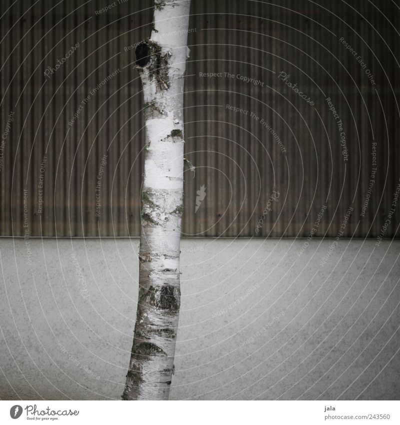 White Tree Plant Wall (building) Gray Wall (barrier) Brown Facade Gloomy Simple Tree trunk Birch tree