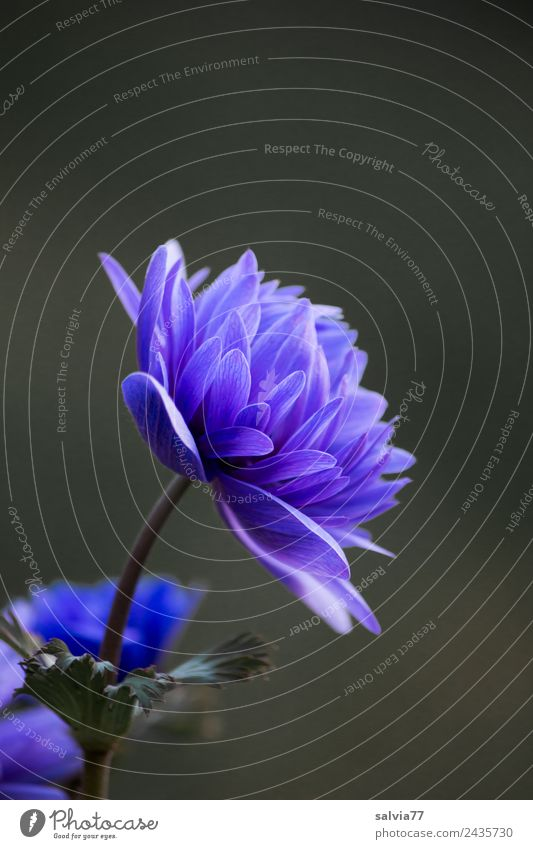 blue anemone Harmonious Calm Fragrance Garden Plant Spring Flower Blossom Spring flower Anemone Blossoming Esthetic Blue Design Colour photo Exterior shot