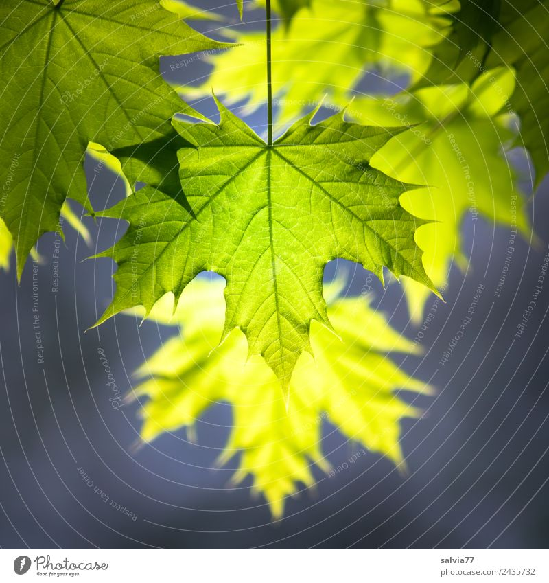 young maple leaves in the evening light Nature Plant Spring Tree Leaf Maple branch Norway maple Park Forest Illuminate Fresh Natural Warmth Soft Yellow Gray