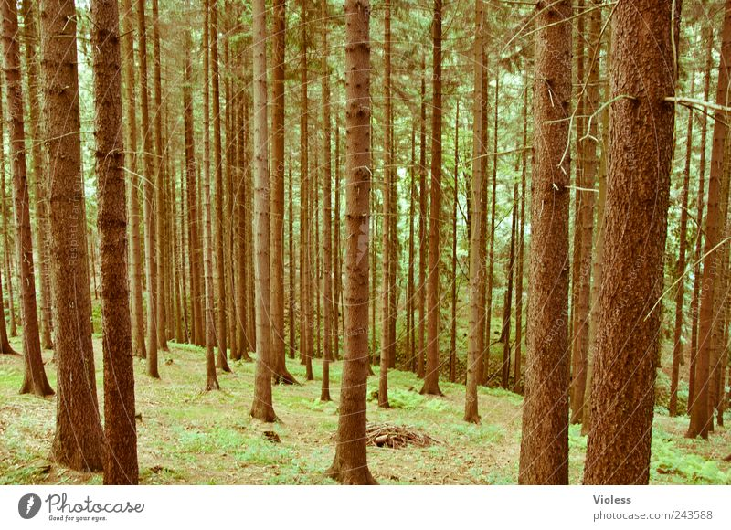 How to call into the forest...... Nature Landscape Plant Tree Forest Observe Natural Brown Coniferous trees Spruce Erz Mountains Colour photo Exterior shot