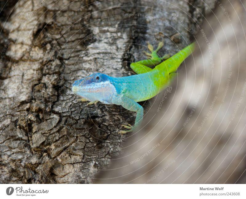 peephole Nature Animal Tree Wild animal Anolis Gecko Lizards Iguana mamoranolis anolis marmoratus 1 Looking Brash Curiosity Blue Green Tree bark Colour photo