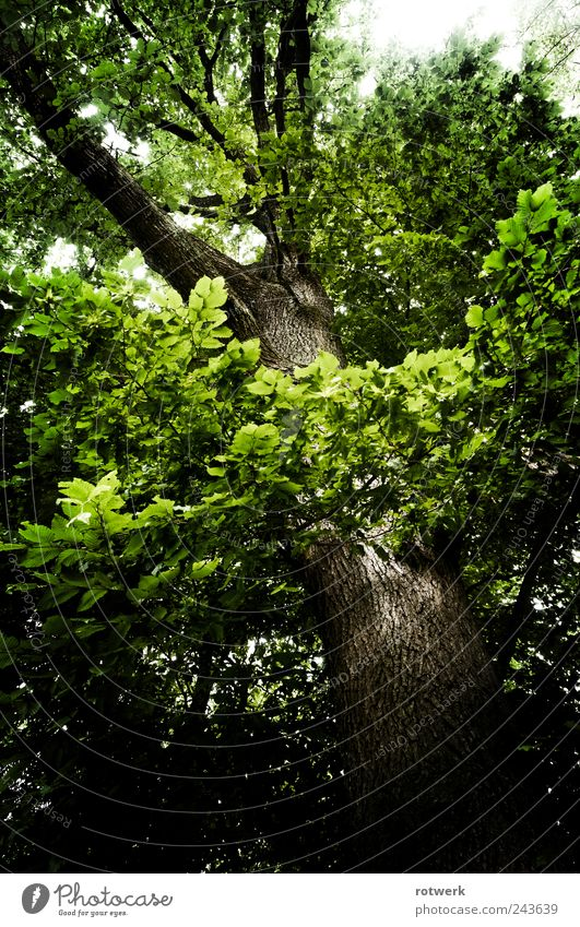 Oak view Environment Nature Landscape Plant Summer Tree Forest Embrace Brown Green Black Power Honest Authentic Esthetic Contentment Sustainability Perspective
