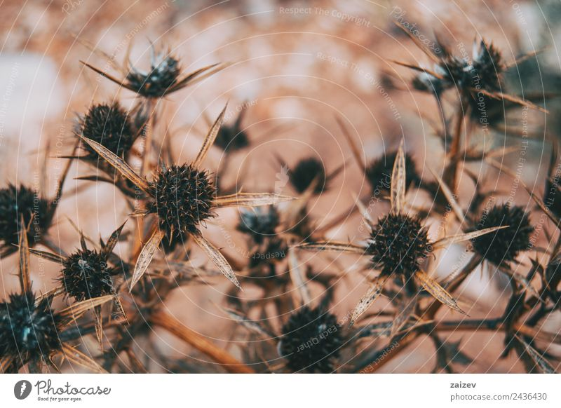dried fruit cirsium in the field Herbs and spices Design Beautiful Environment Nature Plant Sand Spring Summer Autumn Winter Tree Flower Grass Leaf Blossom