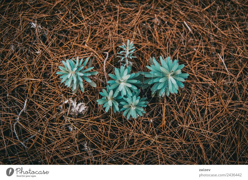 euphorbia seen from above on ground of dried pine leaves Nature Vacation & Travel Blue Plant Colour Beautiful Green Leaf Forest Mountain Environment Meadow