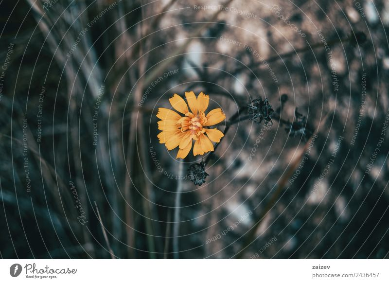 a yellow and small flower isolated in the field Design Beautiful Summer Garden Wallpaper Environment Nature Plant Flower Leaf Blossom Park Small Natural Wild