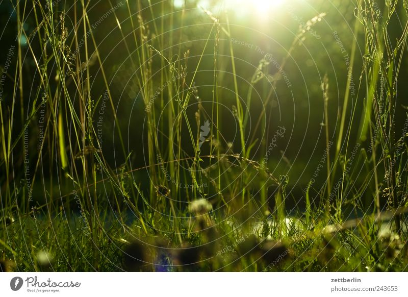 grass wallroth Grass Lawn Grass surface Meadow Pasture Garden Park Nature Plant Blade of grass Light Sun Sunlight Sunbeam Back-light Dark Twilight Sunset