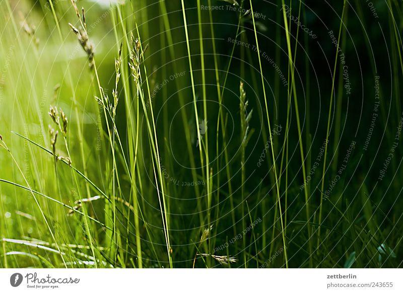 even more grass Green Plant Grass Lawn Meadow Pasture Garden Park Nature Blade of grass Light Sunlight Sunbeam Back-light Dark Twilight Sunset Copy Space