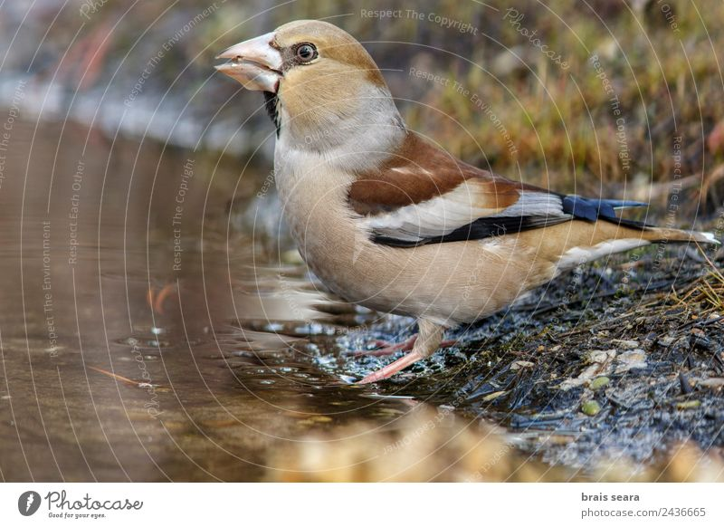 Hawfinch Science & Research Biology Biologist Ornithology Woman Adults Environment Nature Animal Water Earth Forest Wild animal Bird 1 Drinking Multicoloured