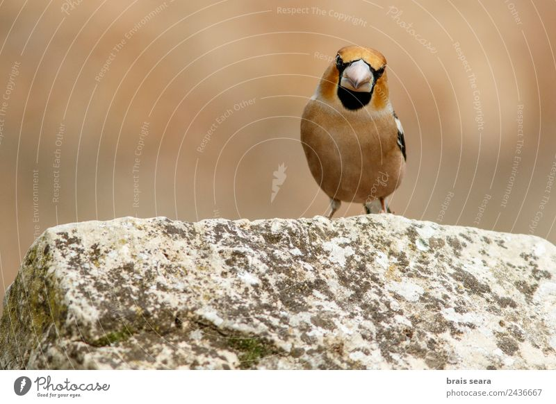 Hawfinch Science & Research Biology Biologist Ornithology Masculine Environment Nature Animal Earth Forest Wild animal Bird 1 Stone Natural Multicoloured