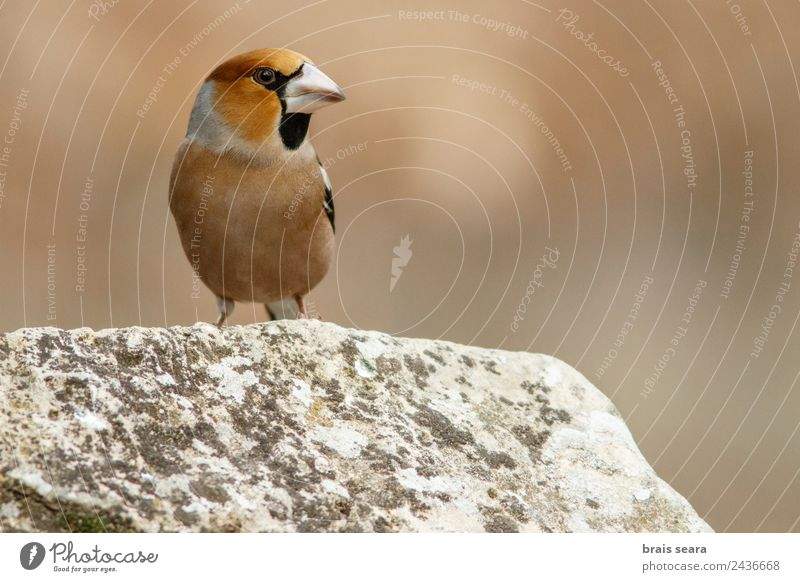Hawfinch Science & Research Biology Ornithology Biologist Masculine Environment Nature Animal Earth Forest Wild animal Bird 1 Stone Natural Multicoloured