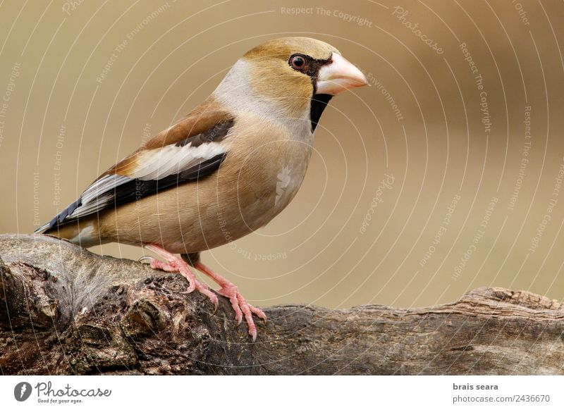 Hawfinch Science & Research Biology Ornithology Profession Biologist Feminine Environment Nature Animal Earth Forest Wild animal Bird 1 Wood Feeding