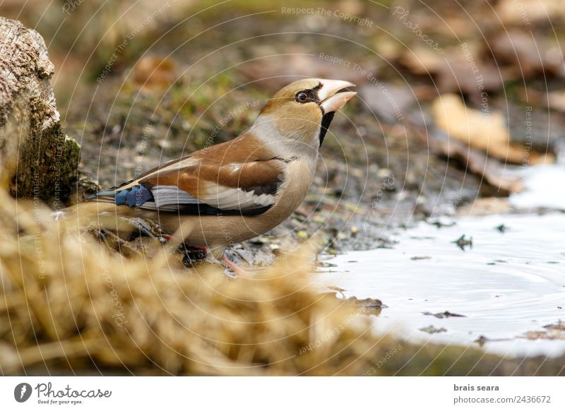 Hawfinch Science & Research Biology Ornithology Biologist Feminine Woman Adults Environment Nature Animal Water Earth Forest Wild animal Bird 1 Drinking