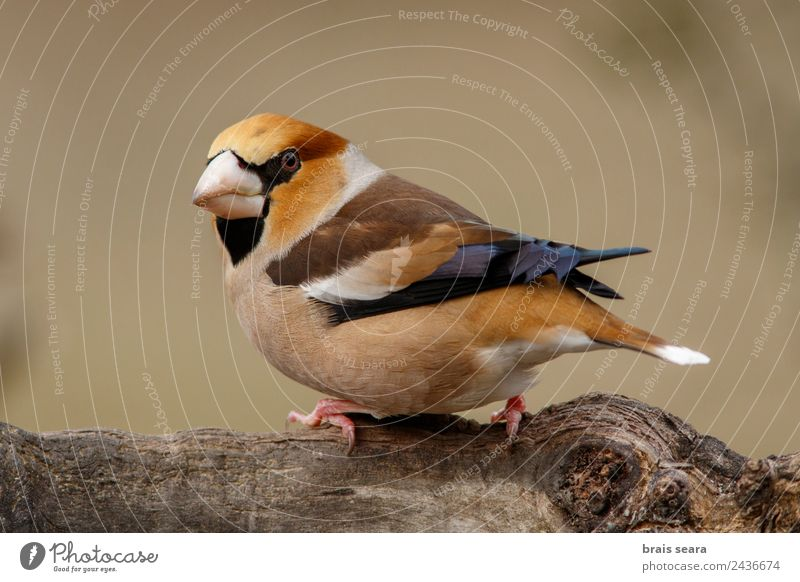 Hawfinch Science & Research Biology Ornithology Biologist Masculine Environment Nature Animal Earth Forest Wild animal Bird 1 Wood Feeding Multicoloured