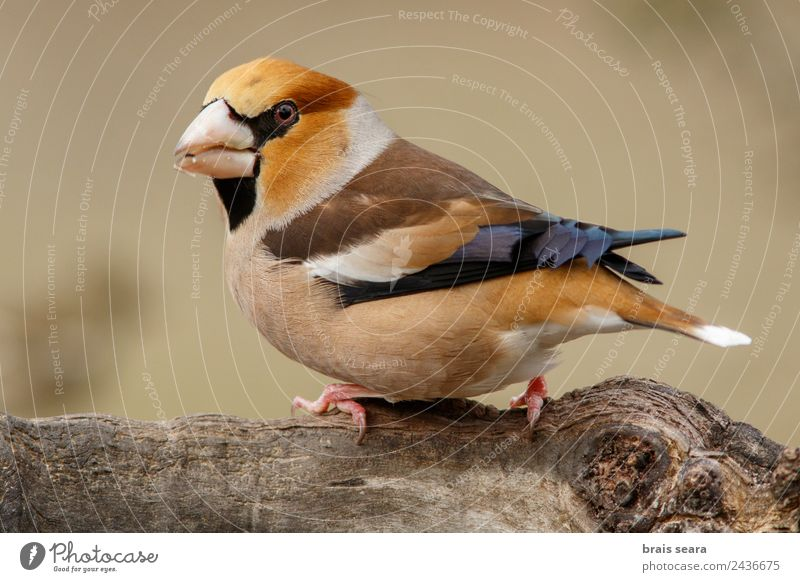 Hawfinch Science & Research Biology Ornithology Profession Biologist Masculine Environment Nature Animal Earth Forest Wild animal Bird 1 Wood Feeding
