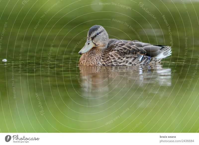 Mallard duck Ornithology Environment Nature Animal Water Earth Wild animal Bird 1 Love of animals Environmental protection aves fauna wildlife vertebrate