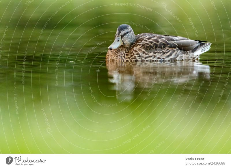Mallard duck Environment Nature Animal Water Earth Wild animal Bird 1 Green Love of animals Environmental protection aves fauna wildlife vertebrate vertebrates