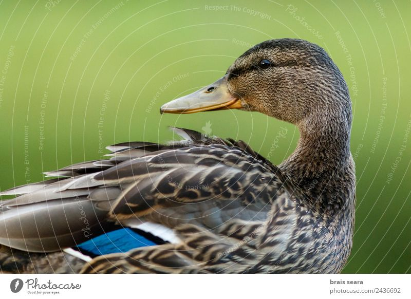 Mallard duck Environment Nature Animal Earth Wild animal Bird Animal face 1 Love of animals Environmental protection aves fauna wildlife vertebrate vertebrates