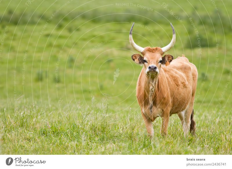 Cachena Cattle Farmer Veterinarian Environment Nature Animal Earth Grass Field Farm animal Cow 1 To feed Green Love of animals cachena cattle Bull ox Galicia
