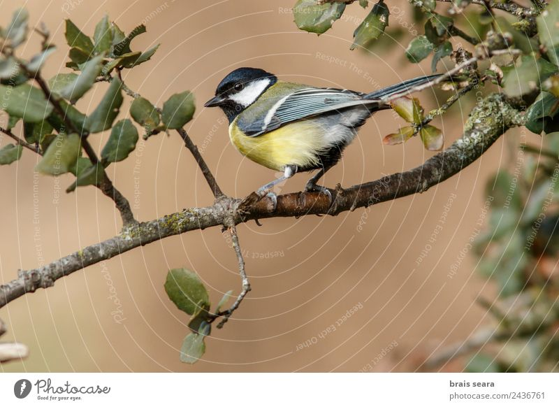 Great Tit Science & Research Biology Biologist Ornithology Profession Environment Nature Animal Earth Tree Forest Wild animal Bird 1 Natural Yellow