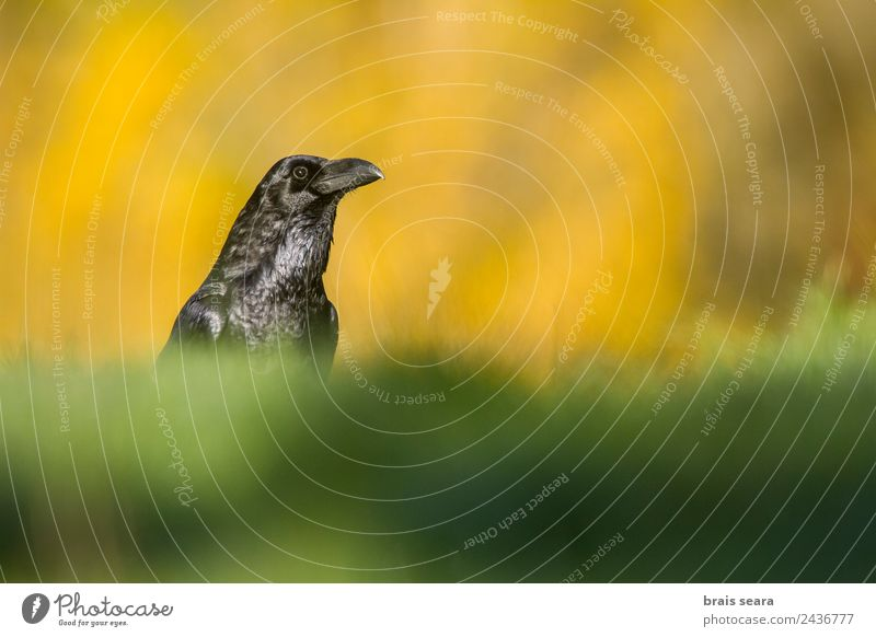 Common Raven Science & Research Biology Ornithology Biologist Environment Nature Animal Earth Autumn Grass Field Wild animal Bird Raven birds 1 Love of animals