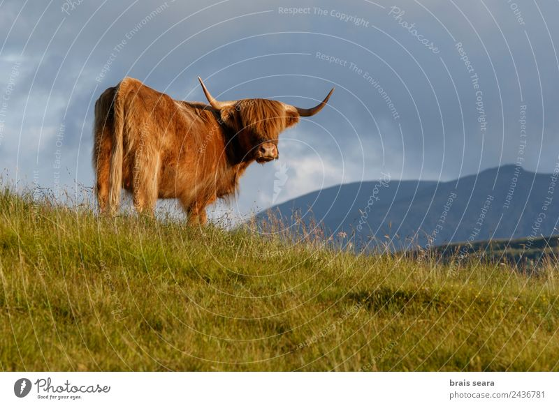 Highland cattle Vacation & Travel Tourism Trip Mountain Biology Profession Farmer Veterinarian Agriculture Forestry Nature Animal Grass Scotland Landmark