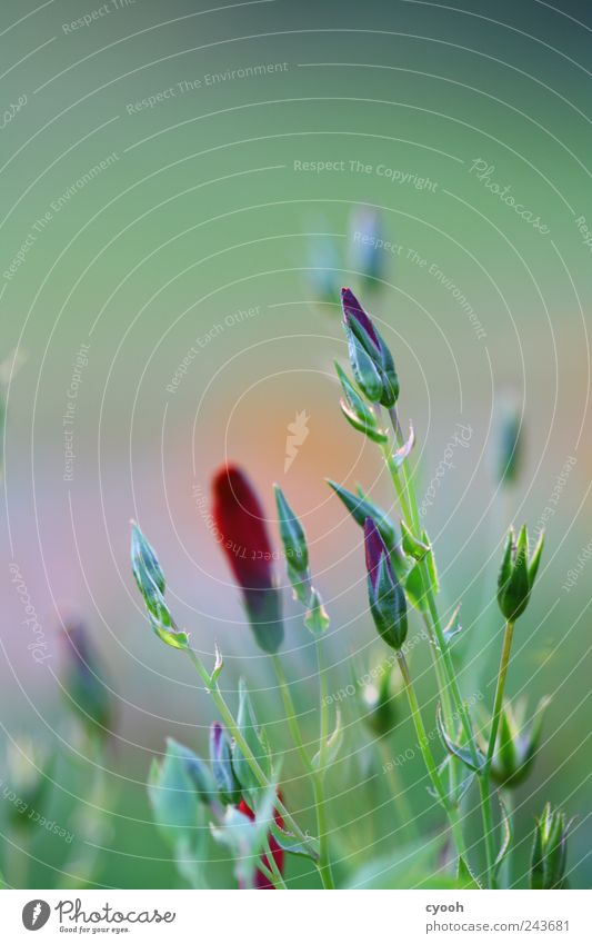pale green Nature Plant Summer Flower Leaf Blossom Green Red Delicate Light green Blossoming Blur Frame Bud Patch Color gradient Colour photo Subdued colour