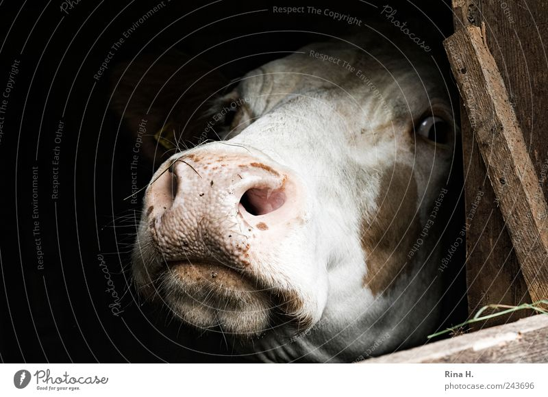 Let me out of here! Animal Farm animal Cow 1 Observe Authentic Natural Gloomy Curiosity Fear Horror Fear of death Stress Perturbed Loneliness Pain Captured