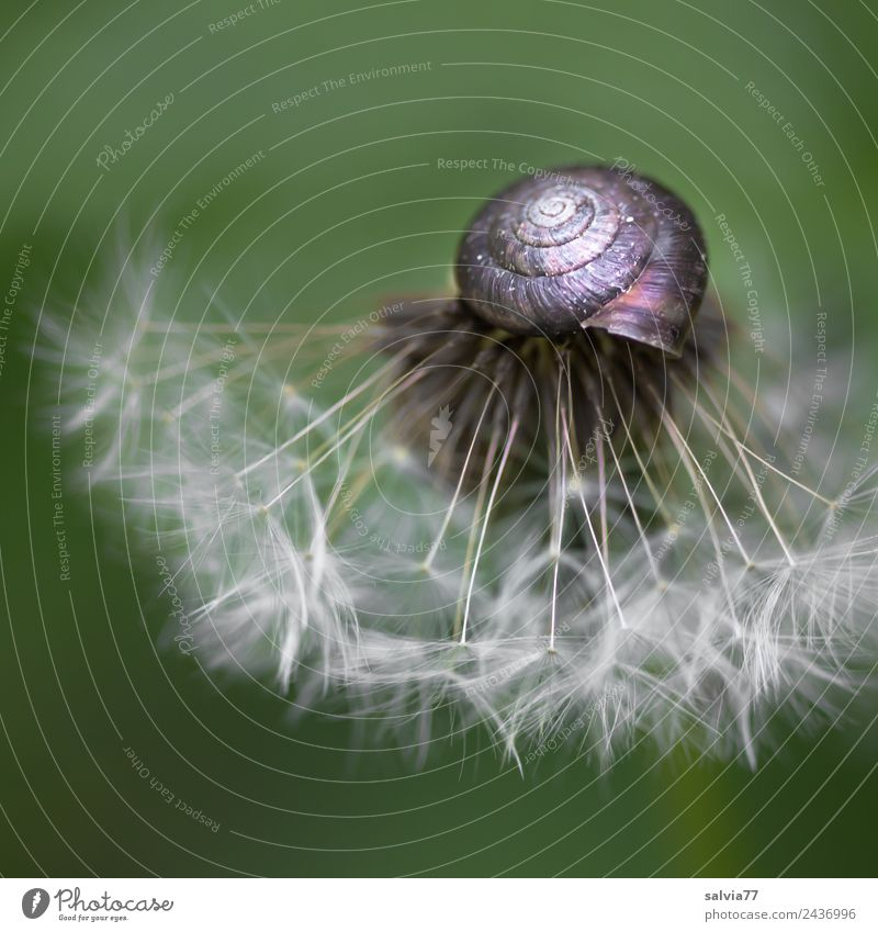 snail hat Environment Nature Spring Plant Flower Blossom Seed Dandelion Snail Esthetic Above Round Soft Green Protection Transience Change Structures and shapes
