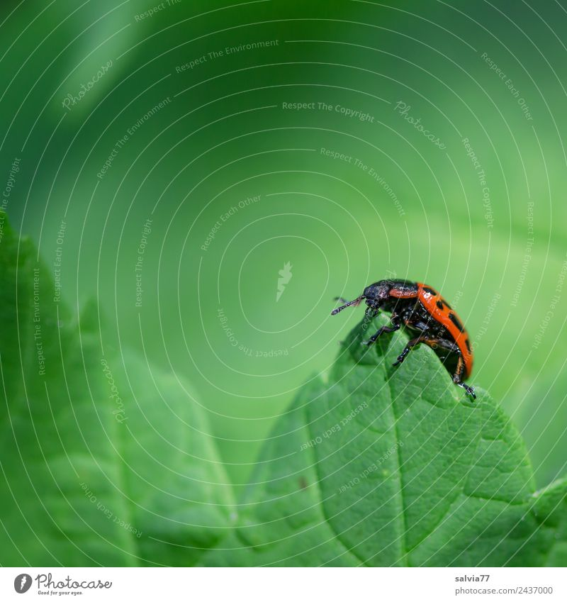 Climbed to the top Nature Spring Summer Plant Leaf Wild animal Beetle Insect 1 Animal Crawl Fresh Natural Green Red Leaf green Rachis Point willow leaf beetle