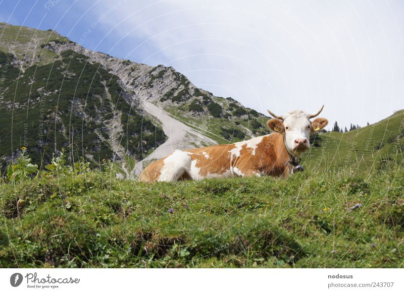 At the Kuhjoch Contentment Tourism Far-off places Summer Summer vacation Sunbathing Mountain Hiking Beautiful weather Flower Grass Alps Peak Cow Stone Fresh