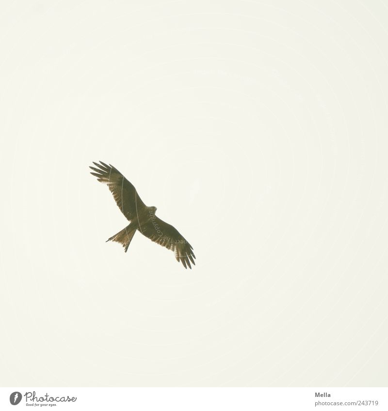 Nature Sky Animal Freedom Air Bright Bird Elegant Environment Flying Esthetic Wing Natural Kite Bird of prey