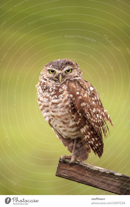 Adult Burrowing owl Athene cunicularia Green Animal Wood Bird Brown Wild animal Feather Watchfulness Animal face Spotted Wisdom Grassland Grouchy Bird of prey