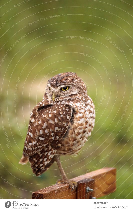 Adult Burrowing owl Athene cunicularia Green Animal Yellow Bird Brown Gold Wild animal Feather Spotted Frustration Grassland Grouchy Bird of prey Florida Owl
