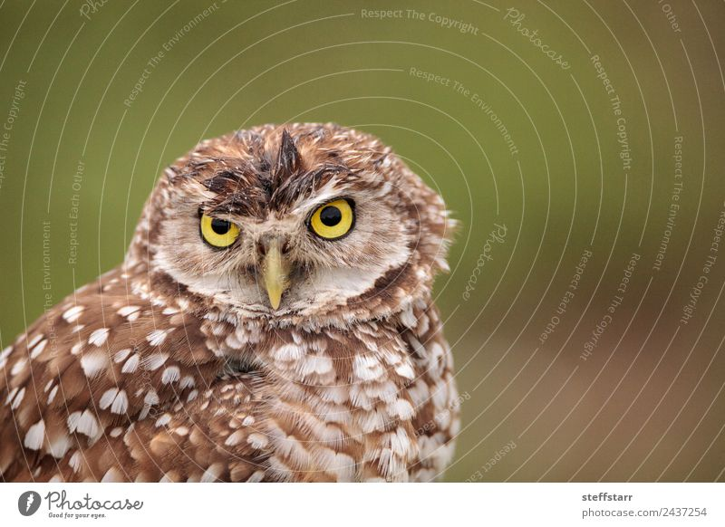 Adult Burrowing owl Athene cunicularia Green Animal Yellow Bird Brown Gold Wild animal Feather Animal face Spotted Frustration Grassland Grouchy Bird of prey