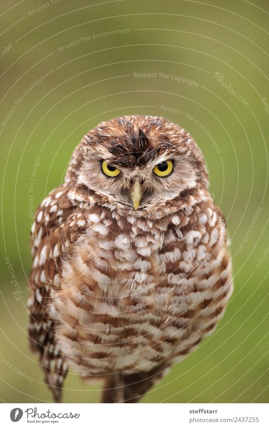 Adult Burrowing owl Athene cunicularia Green Animal Yellow Bird Brown Wild animal Feather Animal face Spotted Frustration Grassland Grouchy Bird of prey Florida