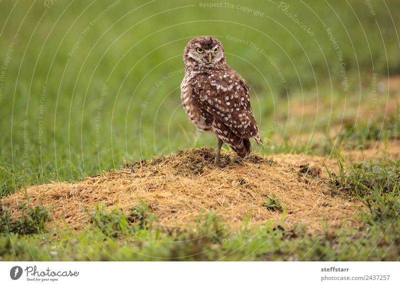 Adult Burrowing owl Athene cunicularia Green Animal Grass Bird Brown Wild animal Feather Spotted Grassland Bird of prey Florida Owl Neon yellow